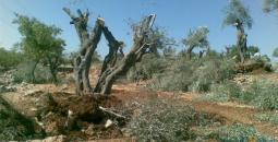 المستوطنون يقتلعون أشجار الزيتون