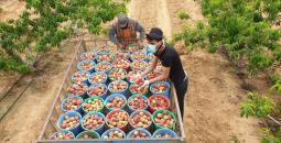 المزارعون في غزة.jpg