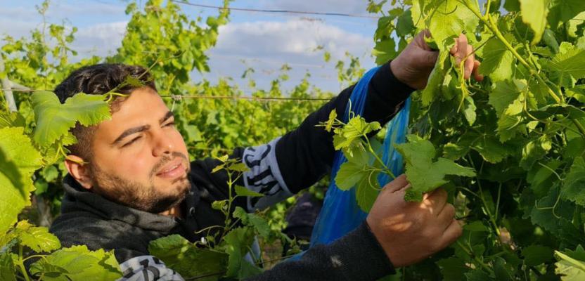 قطف ورق العنب جنوب قطاع غزة