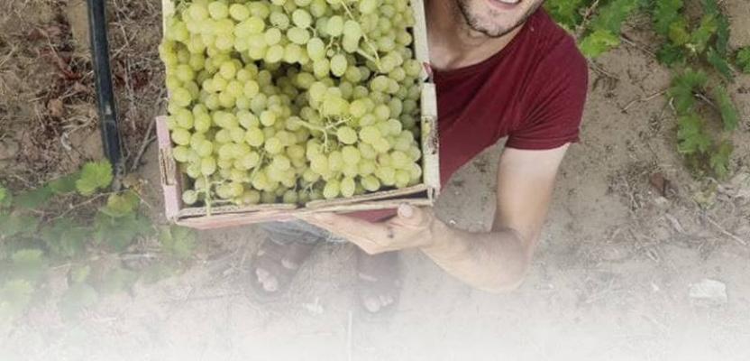 موسم حصاد العنب في قطاع غزة