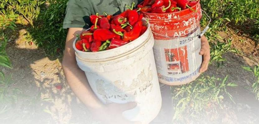 موسم حصاد الفلفل الأحمر في مدينة غزة