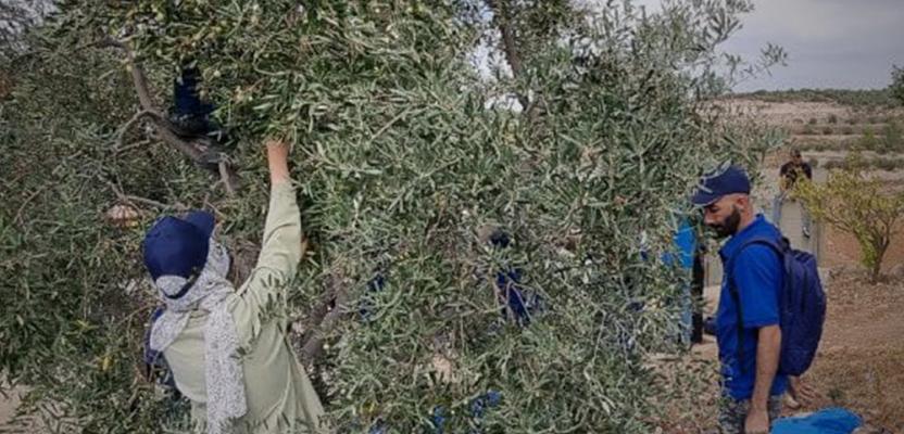 متطوعون يقطفون الزيتون في بلدة خاراس قضاء الخليل